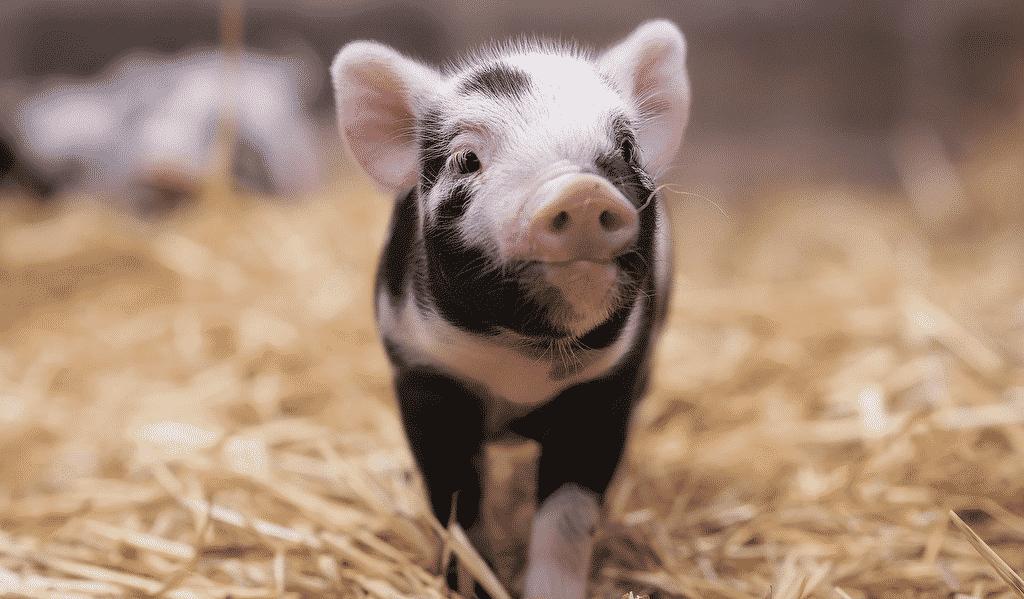 Комбикорм для свиней.